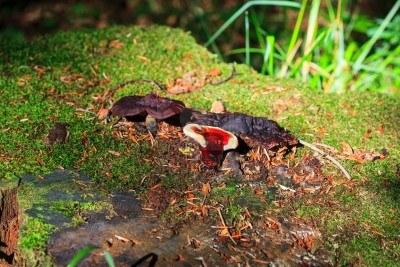14763161-photo-of-a-lingzhi-mushroom-or-reishi-mushroom--ganoderma-lucidum