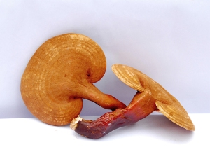Reishi-mushrooms2