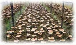 cultivo ganoderma 100% organicojpg